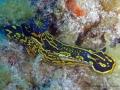 HYPSELODORIS PICTA (3)