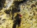 attinia equina (Actinia equina), più nota con il nome di pomodoro di mare