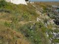 PIANTE GRASSE (1)- AGAVE E FICHI D'INDIA SELVATICI