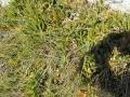 PIANTE GRASSE (8)